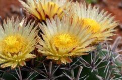 De bloesem van de cactus Royalty-vrije Stock Fotografie
