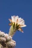 De Bloesem van de Cactus van Pasacana Stock Afbeelding