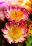 De bloesem van de cactusbloem Stock Afbeeldingen
