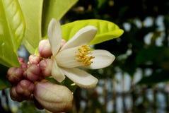 De bloesem van de citroenboom Stock Afbeelding