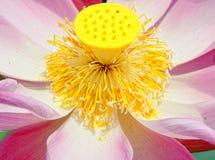 De bloesem van de close-uplotusbloem stock fotografie