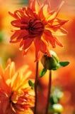 De bloesem van de dahlia Stock Afbeeldingen