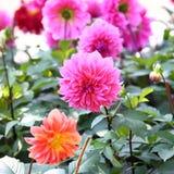 De bloesem van de dahliabloem in tuin royalty-vrije stock afbeeldingen