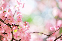 De bloesem van de de kersenbloem van Sakura Stock Afbeeldingen