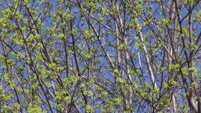 De bloesem van de de lenteesdoorn ontluikt achtergrond stock video
