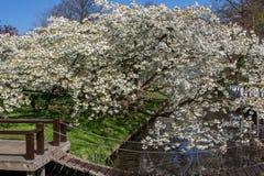 De bloesem van de de lentekers met mooie witte bloemen Royalty-vrije Stock Fotografie