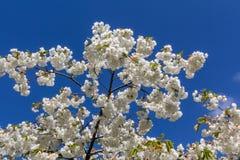 De bloesem van de de lentekers met mooie witte bloemen Royalty-vrije Stock Afbeeldingen