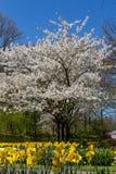 De bloesem van de de lentekers met mooie witte bloemen Stock Afbeelding