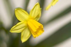 De bloesem van de gele narcis Royalty-vrije Stock Fotografie