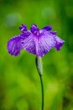 De Bloesem van de iris Royalty-vrije Stock Foto