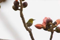 De bloesem van de kapok, een vogel Royalty-vrije Stock Foto