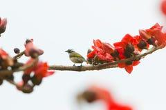 De bloesem van de kapok, vogel Royalty-vrije Stock Foto's