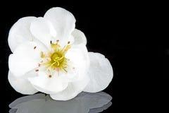 De bloesem van de kers in de lentetijd Royalty-vrije Stock Foto's