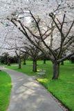 De bloesem van de kers in het park van Stanley, Vancouver Royalty-vrije Stock Afbeelding