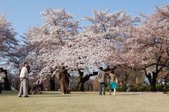 De Bloesem van de kers in Japan Stock Foto's
