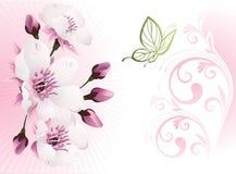 De bloesem van de kers met bloemenachtergrond Stock Afbeelding