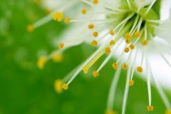 De bloesem van de kers op groen Royalty-vrije Stock Afbeeldingen