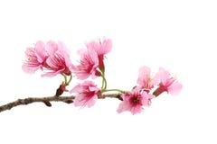 De bloesem van de kers, roze sakurabloem stock afbeeldingen