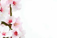 De bloesem van de kers tegen een witte achtergrond Royalty-vrije Stock Fotografie