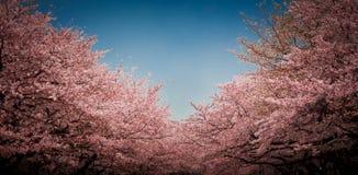 De bloesem van de kers in Tokyo Stock Foto's