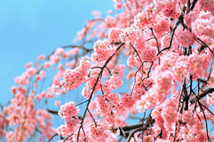 De bloesem van de kers in Tokyo Stock Afbeeldingen