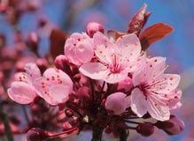 De bloesem van de kersenboom royalty-vrije stock afbeeldingen