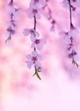De bloesem van de kersenboom Stock Foto's