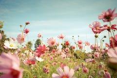 De bloesem van de kosmosbloem in tuin royalty-vrije stock foto's
