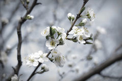 De bloesem van de lente Stock Afbeelding