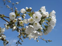 De bloesem van de lente Stock Foto's
