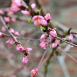 De Bloesem van de lente Royalty-vrije Stock Fotografie