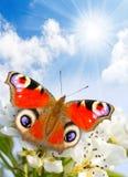 De bloesem van de lente en een vlinder. Royalty-vrije Stock Afbeeldingen