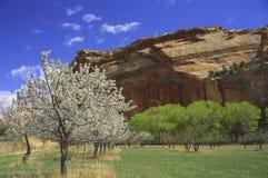 De bloesem van de lente in het Nationale Park van de Ertsader van het Capitool, Utah Royalty-vrije Stock Foto