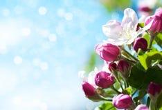 De Bloesem van de lenteapple Royalty-vrije Stock Foto's