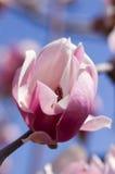 De bloesem van de magnolia royalty-vrije stock foto's
