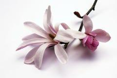De bloesem van de magnolia stock foto's