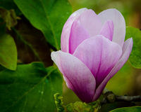 De Bloesem van de magnolia Stock Fotografie