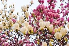 De bloesem van de magnolia Stock Foto