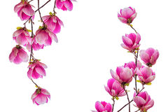De bloesem van de magnoliabloem op witte achtergrond wordt geïsoleerd die Stock Foto's