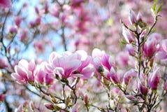 De bloesem van de magnoliaboom Stock Foto's