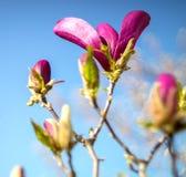 De bloesem van de magnoliaboom royalty-vrije stock foto