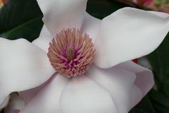De Bloesem van de magnolialente stock fotografie