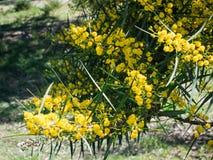 De bloesem van de mimosaboom Stock Afbeelding