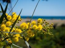 De bloesem van de mimosaboom Royalty-vrije Stock Foto