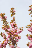 De bloesem van de perzik Stock Afbeelding