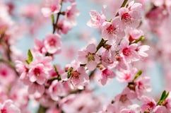 De bloesem van de perzik in de lente Stock Fotografie