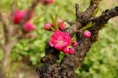 De Bloesem van de perzik in Maart Stock Foto's