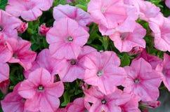 De bloesem van de petunia royalty-vrije stock foto