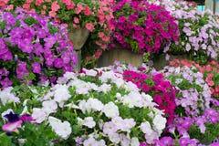 De bloesem van de petunia royalty-vrije stock foto's
