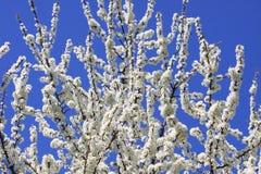 De bloesem van de sleedoorn tegen een blauwe hemel Stock Fotografie